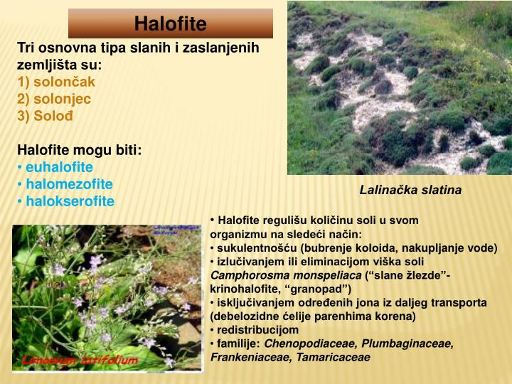 Halofite