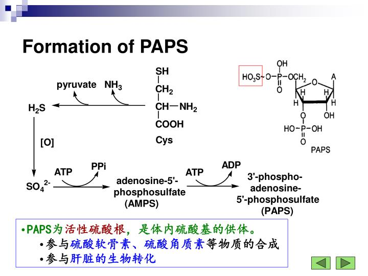 Formation of PAPS