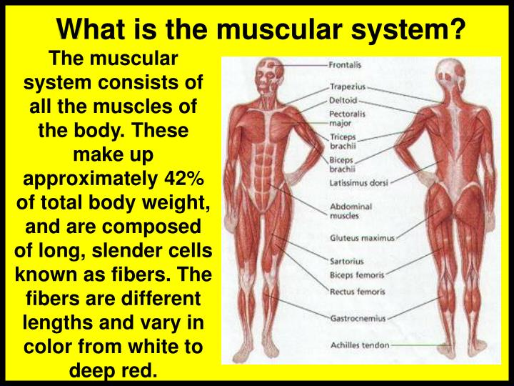 Ppt Muscular System Powerpoint Presentation Id4149980