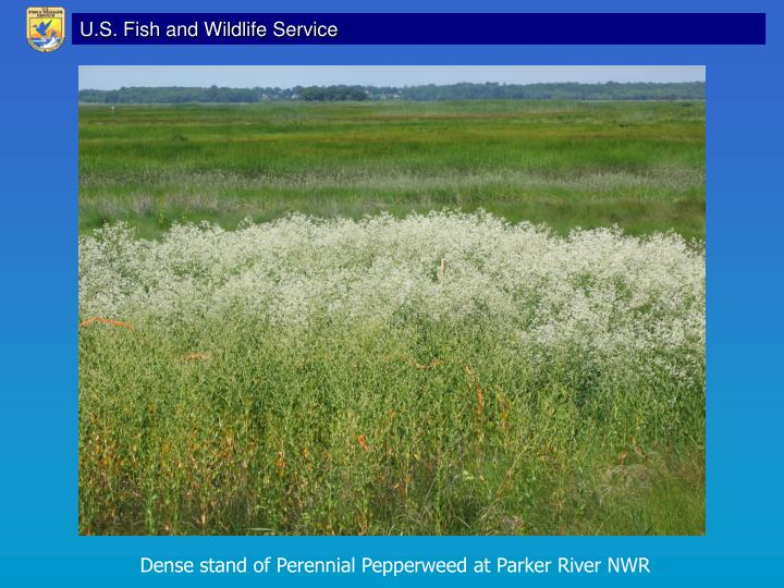 Dense stand of Perennial Pepperweed at Parker River NWR