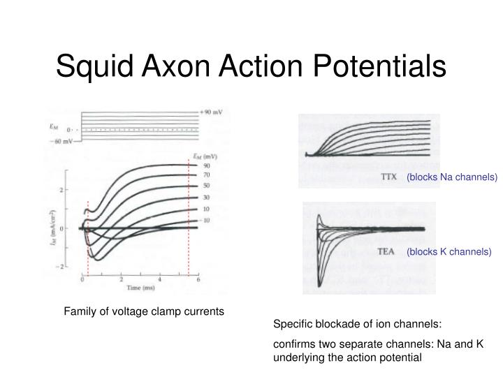 computer simulation of action potentials in squid axons biology essay Generation of action potentials in a organization of the cortical endoplasmic reticulum in the squid monte carlo simulation of protein folding with.