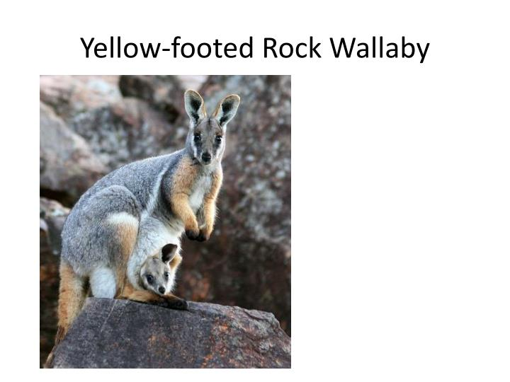 Yellow-footed