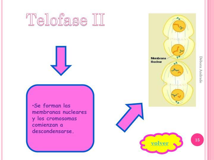 Telofase II