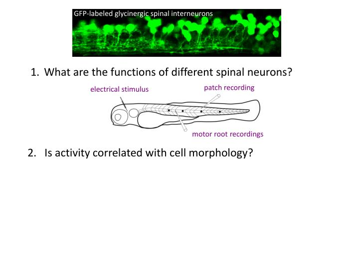 What are the functions of different spinal neurons?