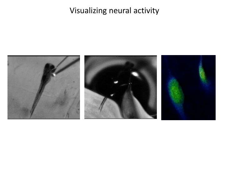 Visualizing neural activity