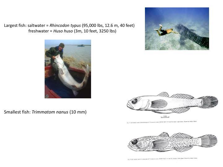 Largest fish: saltwater =