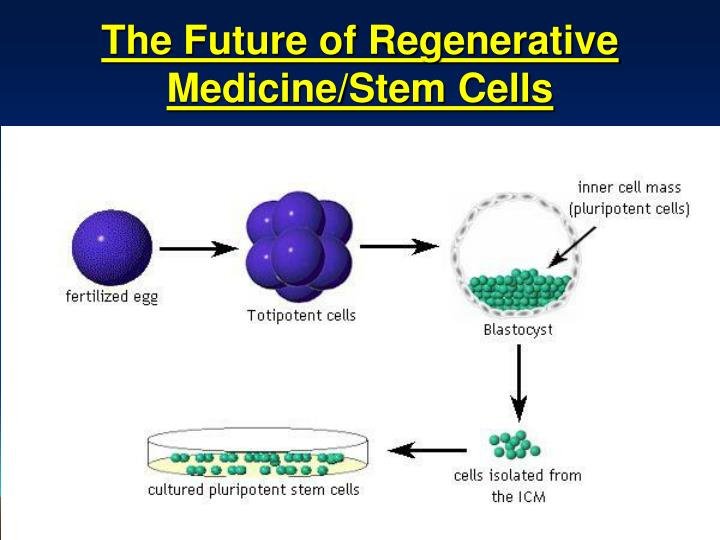 stem cells the future of medicine essay Dan s kaufman, who is an associate director at the university of minnesota stem cell institute and an associate professor in the department of medicine, division of hematology, oncology and transplantation, supports embryonic stem cell research, arguing that the embryos used in the study of embryonic stem cells come from fertilized zygotes.
