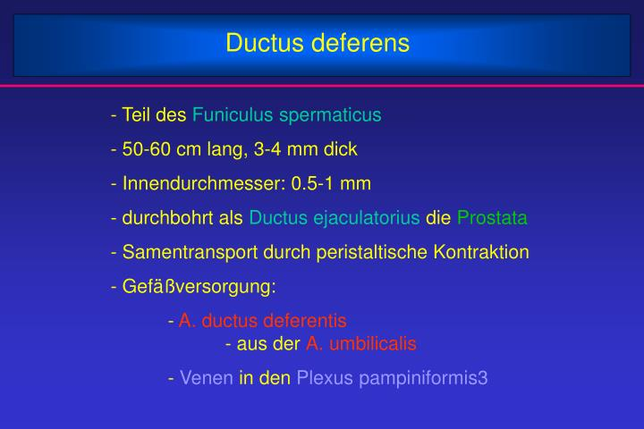 Ductus deferens