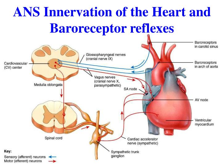 ANS Innervation of the Heart and Baroreceptor reflexes