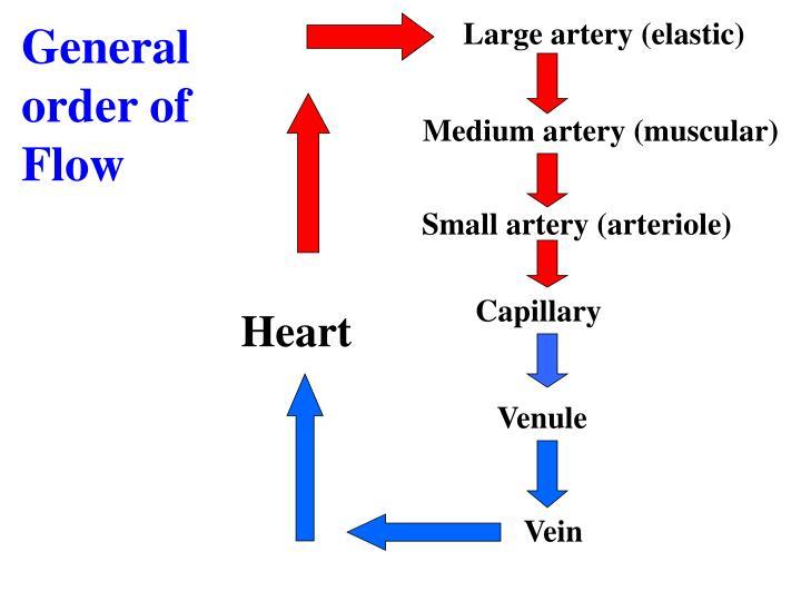 Large artery (elastic)