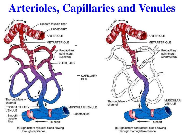 Arterioles, Capillaries and Venules