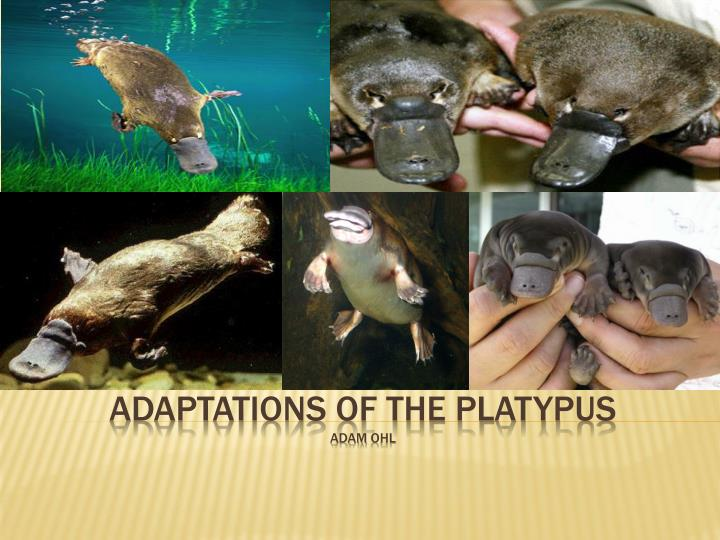 adaptations of the platypus adam ohl n.