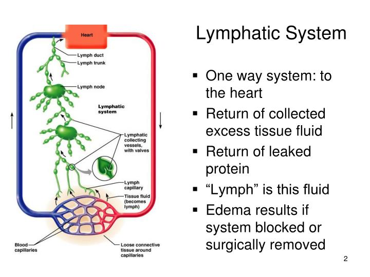 """lymphatics webquest Our body's lymphatic system """"your body can regenerate from brain cells to toe cells, your body can regenerate if you want to regenerate tissue,."""