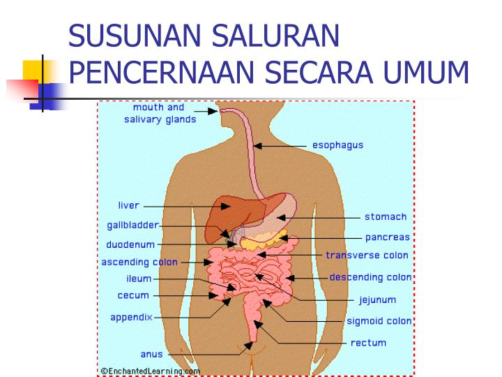 Susunan saluran pencernaan secara umum