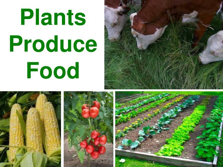 plants produce food n.