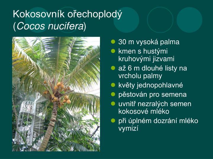 Kokosovn k o echoplod cocos nucifera