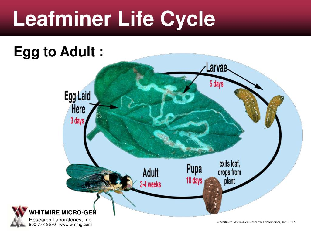 ppt - aphid life cycle powerpoint presentation