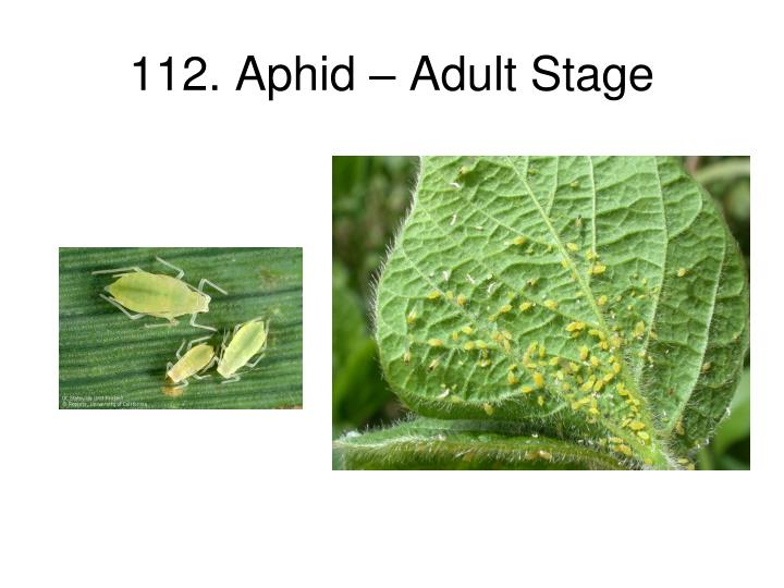 112 aphid adult stage n.