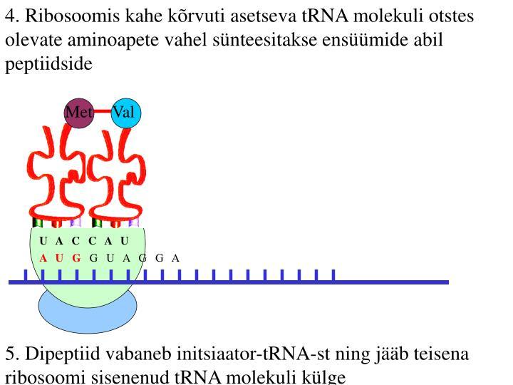 4. Ribosoomis kahe kõrvuti asetseva tRNA molekuli otstes olevate aminoapete vahel sünteesitakse ensüümide abil peptiidside