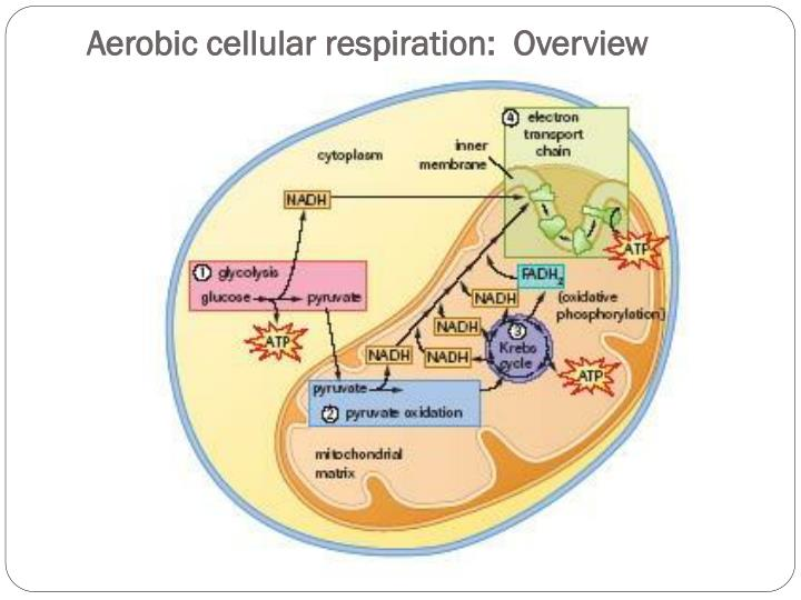 Aerobic cellular respiration:  Overview