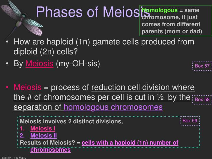 Phases of Meiosis
