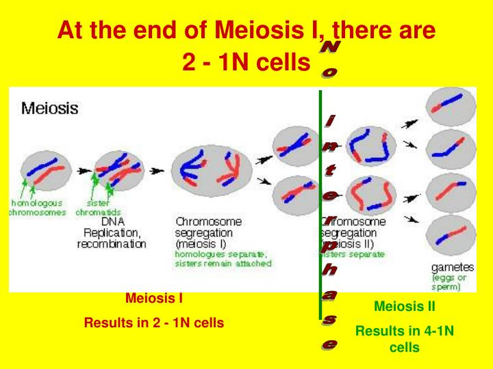 At the end of Meiosis I, there are