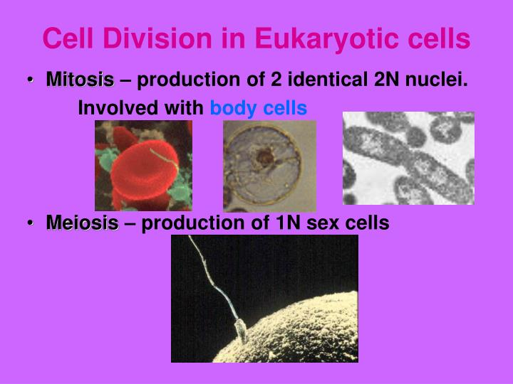Cell Division in Eukaryotic cells