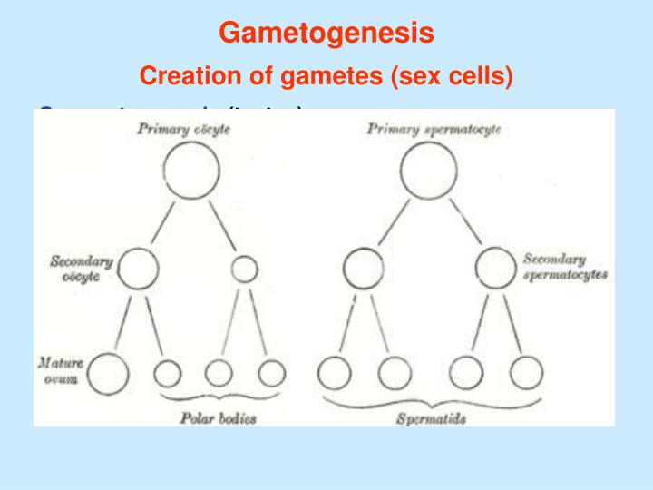 Gametogenesis