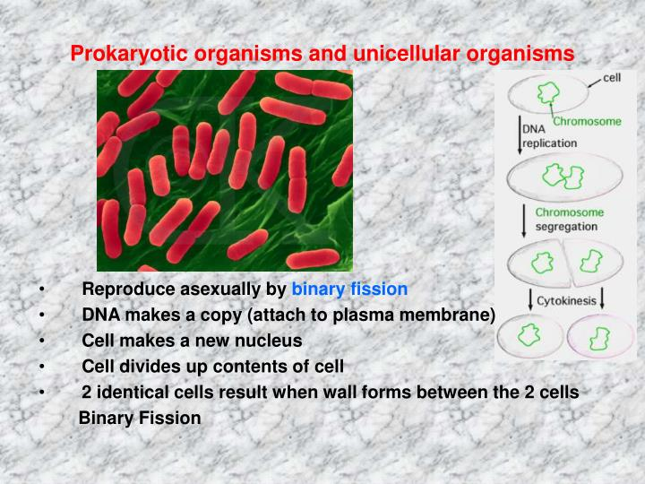 Prokaryotic organisms and unicellular organisms