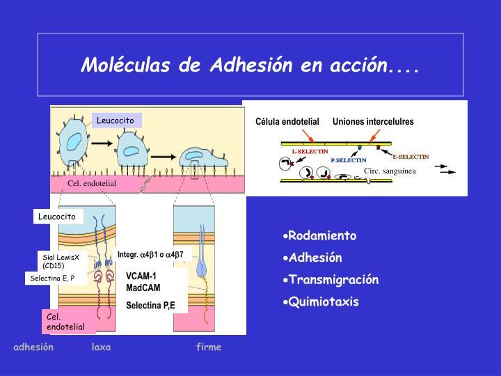 Moléculas de Adhesión en acción....