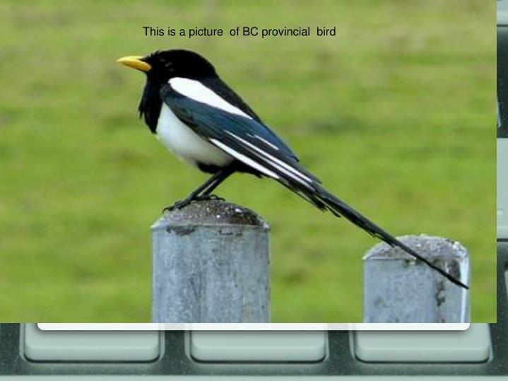 This is a picture  of BC provincial  bird