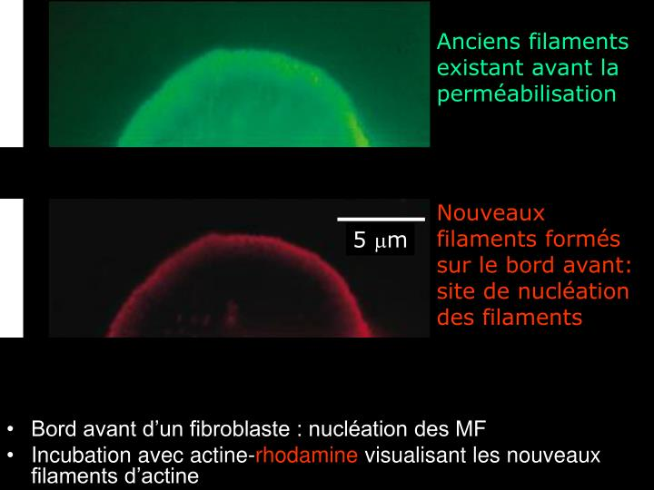 Anciens filaments existant avant la perméabilisation