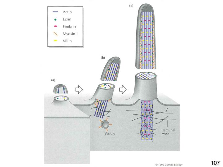 Karl R. Fath and David R. Burgess Microvillus Assembly: Not actin alone Current Biology Volume 5, Issue 6 , June 1995, Pages 591-593