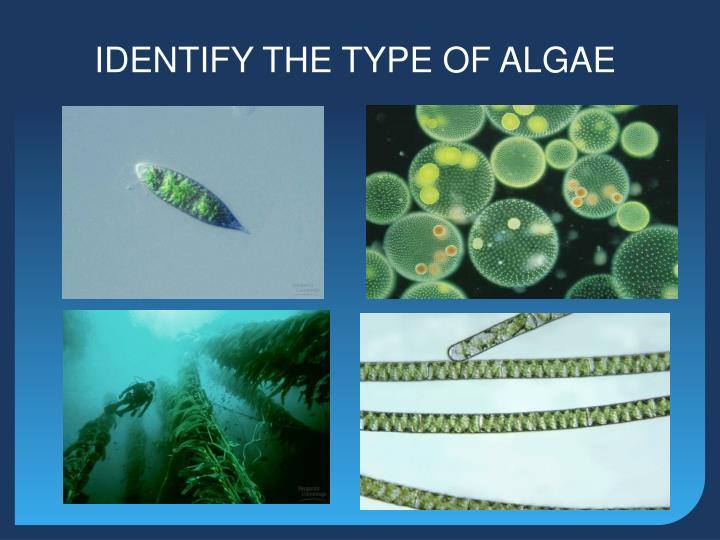 IDENTIFY THE TYPE OF ALGAE
