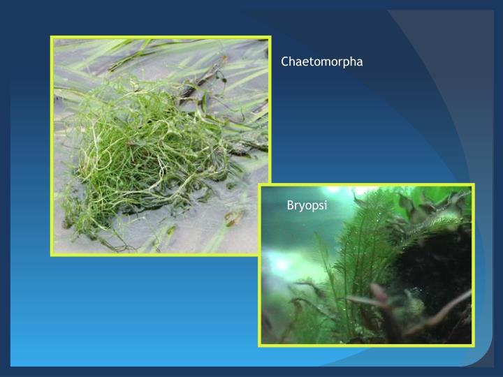Chaetomorpha