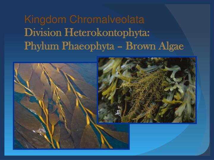 Kingdom Chromalveolata