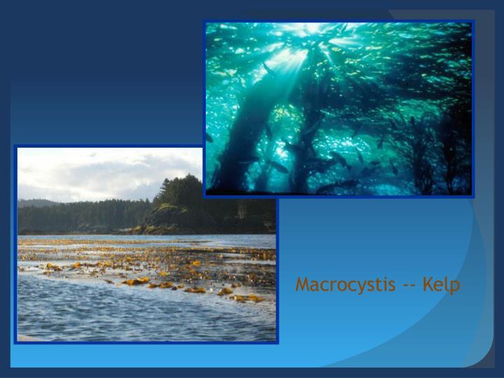 Macrocystis -- Kelp