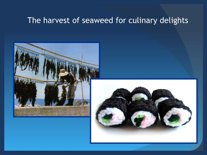 The harvest of seaweed for culinary delights