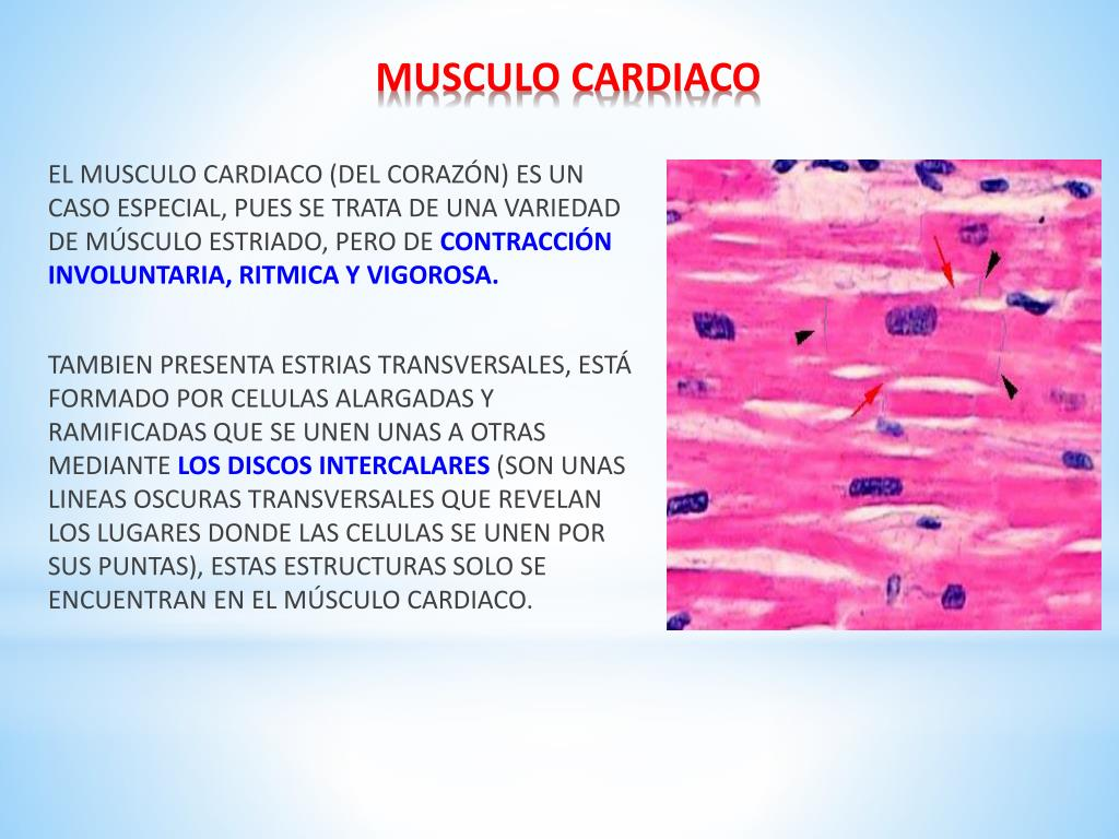 Ppt Tejido Muscular Powerpoint Presentation Free Download