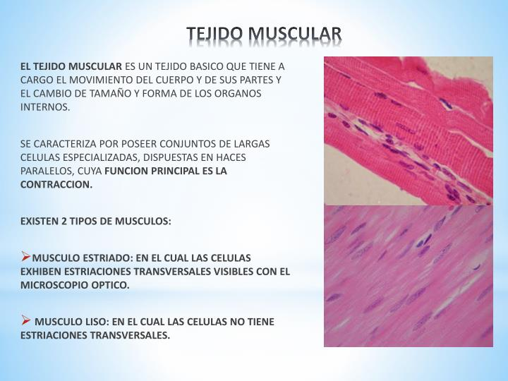 PPT - TEJIDO MUSCULAR PowerPoint Presentation - ID:4196535