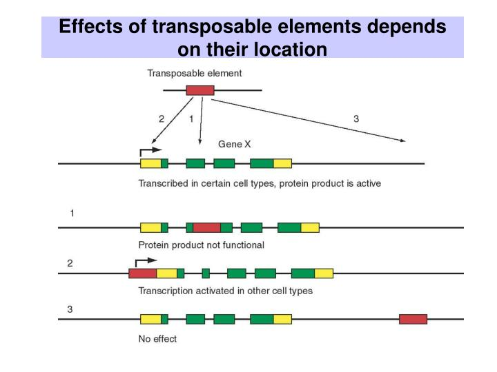 Effects of transposable elements depends on their location