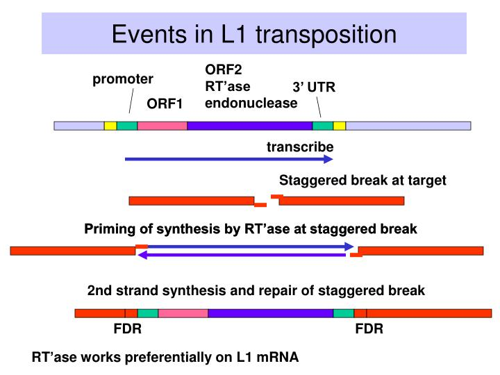 Events in L1 transposition