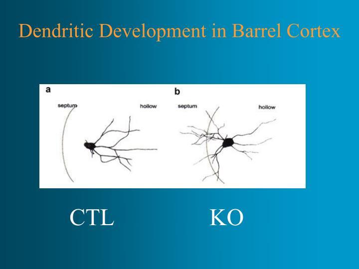 Dendritic Development in Barrel Cortex