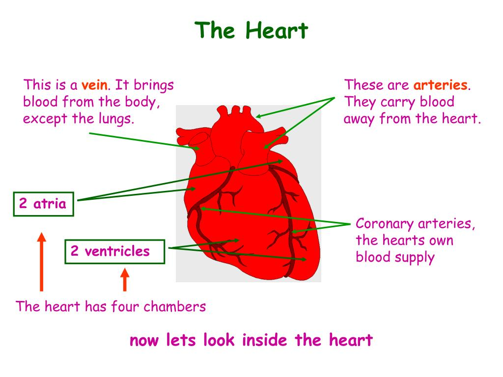PPT - The Heart- Structure and Function PowerPoint ...