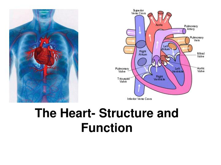 PPT - The Heart- Structure and Function PowerPoint Presentation - ID ...