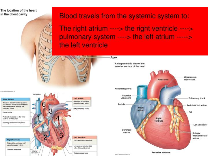 PPT - Goals: Review macro/external anatomy of the heart What is the ...