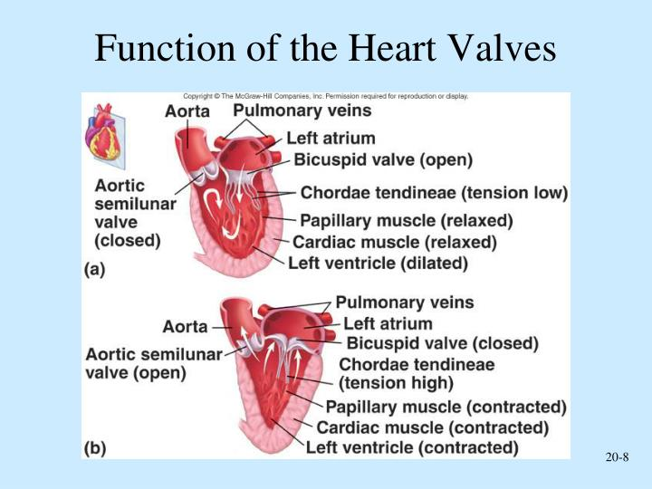 heart functions The heart is an organ found in every vertebrateit is a very strong muscle that is about the size of a fist it pumps blood throughout the bodyit has regular contractions, or when the heart squeezes the blood out into other parts of the body.