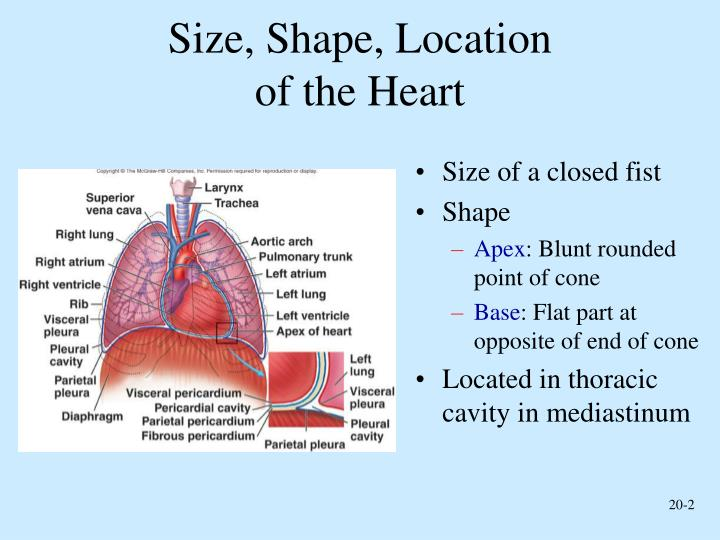 Ppt Functions Of The Heart Powerpoint Presentation Id4225154