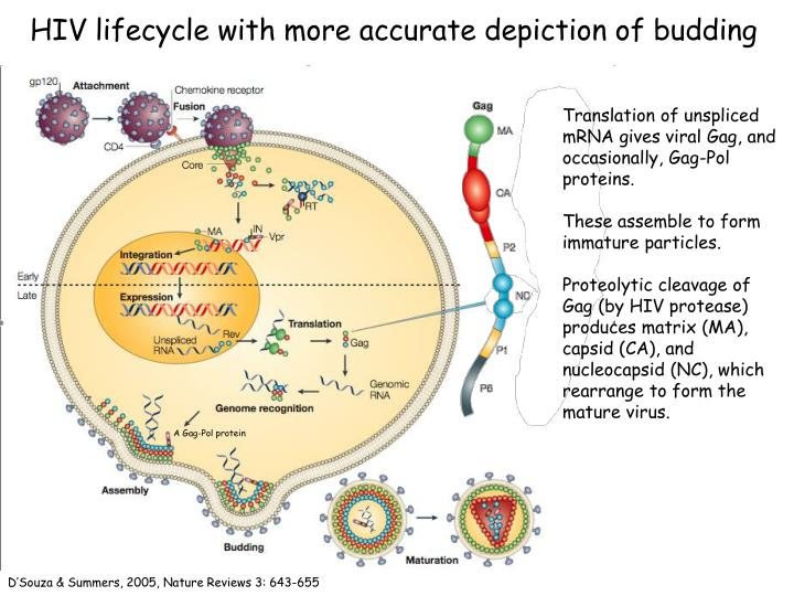 hiv lifecycle with more accurate depiction of budding n.