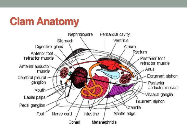 PPT - Phylum Mollusca PowerPoint Presentation - ID:4227630